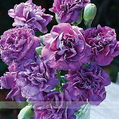 ADB Inc the Rarest Dianthus 'Purple Rain' Carnation Flower Seeds