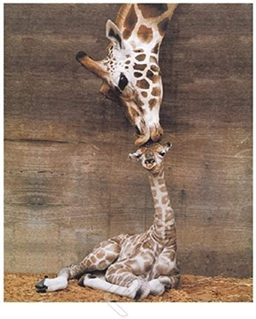 GIRAFFE WITH IT/'S BABY CALF POSTER  24x36 THE FIRST KISS