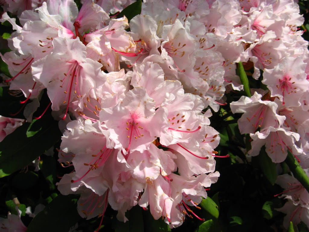 50 pink royal azalea rhododendron schlippenbachii bush shrub flower 50 pink royal azalea rhododendron schlippenbachii bush shrub flower seeds by seedville toys games amazon canada mightylinksfo