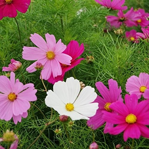 Non GMO Bulk Cosmos Seeds (Dwarf Early) - Sensation Mix Cosmos bipinnatus Dwarf (1 oz) 7,000 Seeds