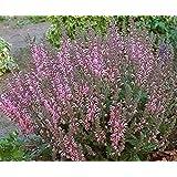 50 'PINK SUNDAE' CLARY SAGE / SALVIA Viridis Herb Flower Seeds *Flat Ship