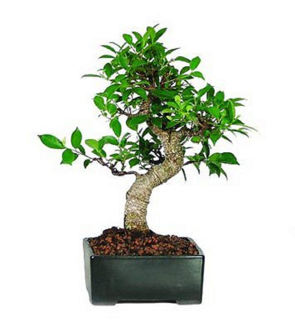 Golden Gate Ficus Bonsai Tree Tropical Live Plant Beauty Indoor 7 Years Old V3