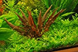 Potted Cryptocoryne Wendtii Red - Live Aquarium Live Plant