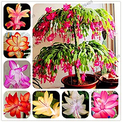 A2Z 18: 100pcs/bag Schlumbergera Flores Christmas Cactus plantas, Bonsai Plant for Home and Garden, Mixed Color, Easy to Plant : Garden & Outdoor