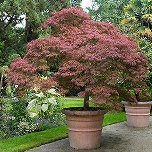 Tamukeyama Weeping Japanese Maple Tree - 2-3 Year Graft - Trade Gallon Pot ()