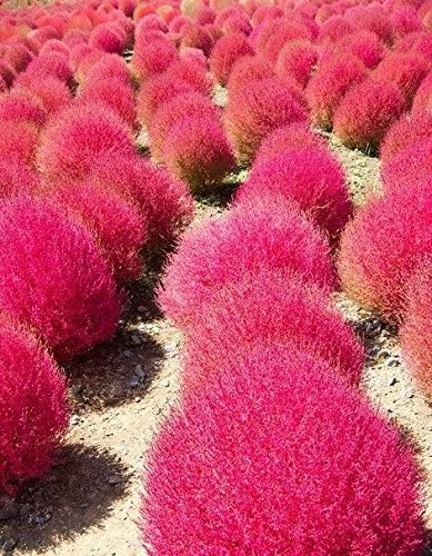 Amazon Com Grass Burning Bush Kochia Scoparia Red Flower Garden