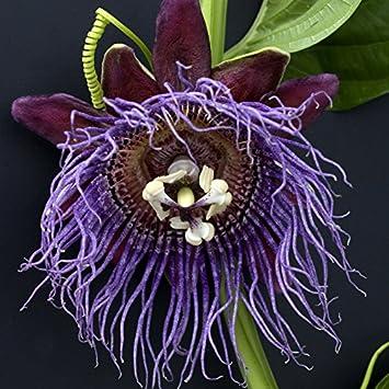 Passiflora quadrangularis Riesengranadilla Passionsblume 20 Samen