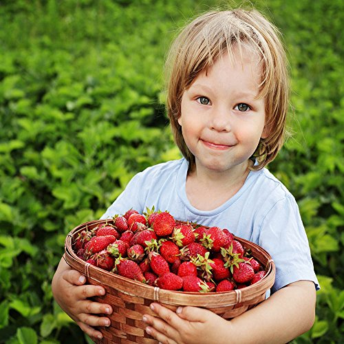 Evie 25 Everbearing Bare Root Strawberry Plants by Hirts: Fruits & Berries (Image #2)