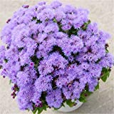 200 Seeds Ageratum Conyzoides Seeds Aster Flower Bonsai Seeds Rainbow Chrysanthemum Seeds #32803109454ST