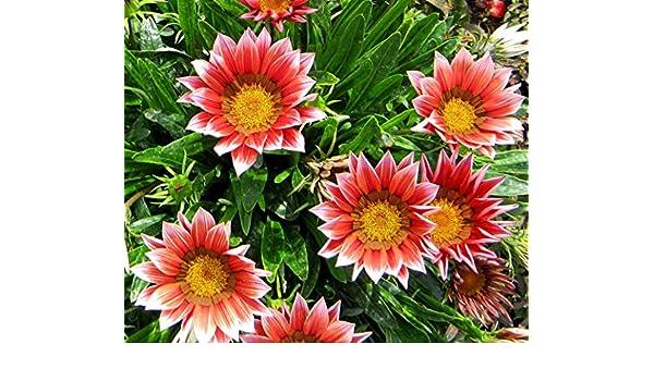 Reseeding Annual Kiss Rose Gazania Flower Seeds 30