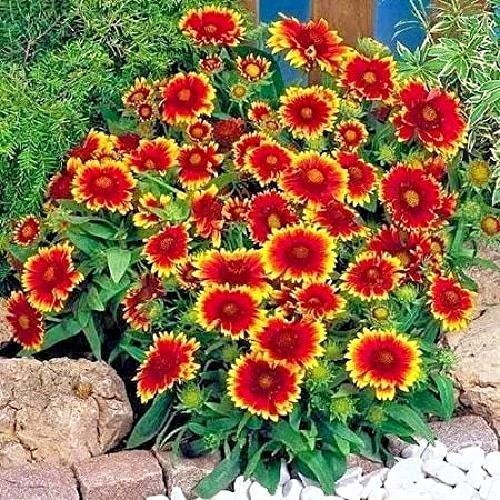 INDIAN BLANKET FLOWER Seeds American Native Wildflower Garden//Containers 200