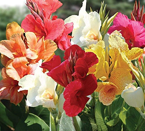 Mixed Tall Canna Lily Value Bag - 6 Bulbs - Assorted Canna Lilies Red, Yellow, Pink, Orange ()
