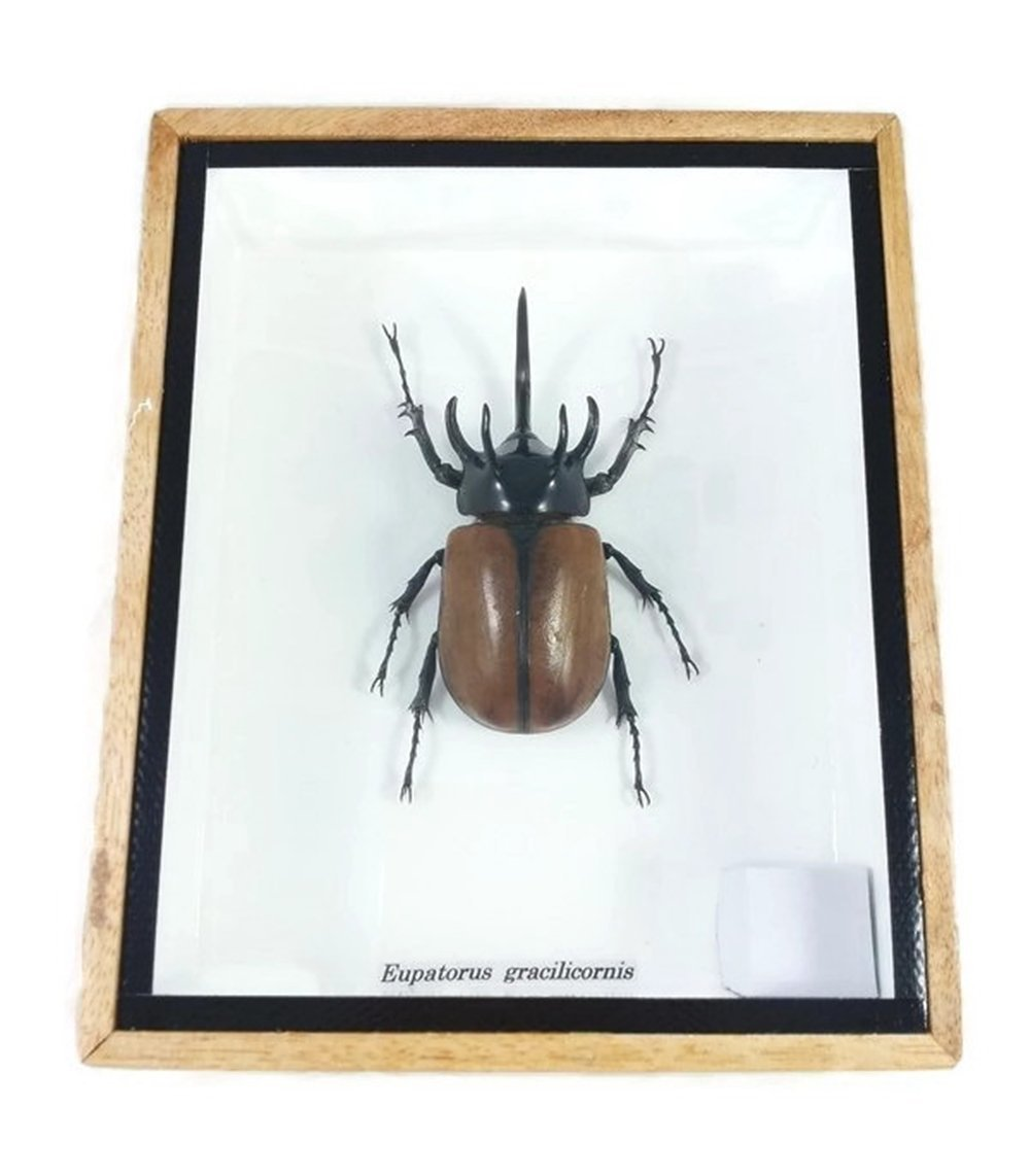 Real Exotic 5 Horned Atlas Fighting Beetle (Eupatorus gracilicornis) Closed wings Mounts Animals Taxidermy in Framed