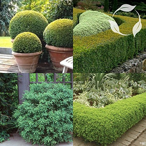 KOREAN BOXWOOD Buxus Microphylla Koreana SEEDS