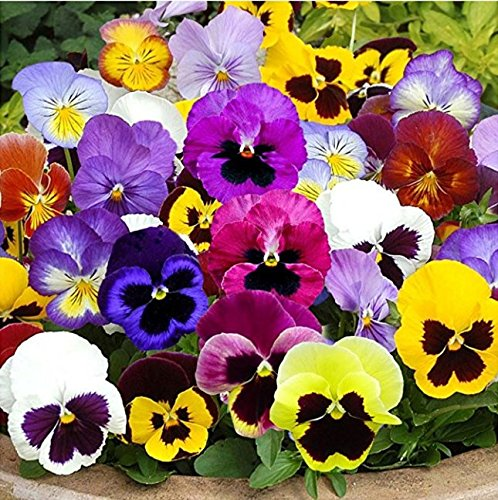 Nianyan Package of 600 Seeds, Pansy