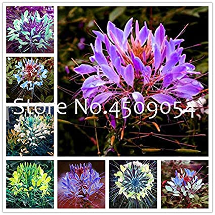 Amazon.com: Mixed Colors cleome spinosa Flower Seeds Indoor ... on best dried flowers, succulent plant with orange flowers, house plant trees, house plants with fruit, house plants with leaves, house plants with pink, house plant identification, house plants for cats, house plants that bloom, dollhouse miniature plants and flowers, house plant purple underside, house plants with lily, house plants with red stems, variegated flowers, garden plants and flowers, potato vine plant flowers, house plants with color, house plants with butterflies, house plant purple heart,