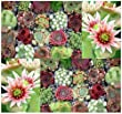 1,000 Sempervivum Hen & Chicks Cactus Mixed Seeds GORGEOUS House Leeks ~ BULK ~ These seeds are VERY small, each pack of seed will contain more than advertised. But if you are uncomfortable working with VERY small seeds please do NOT purchase this product