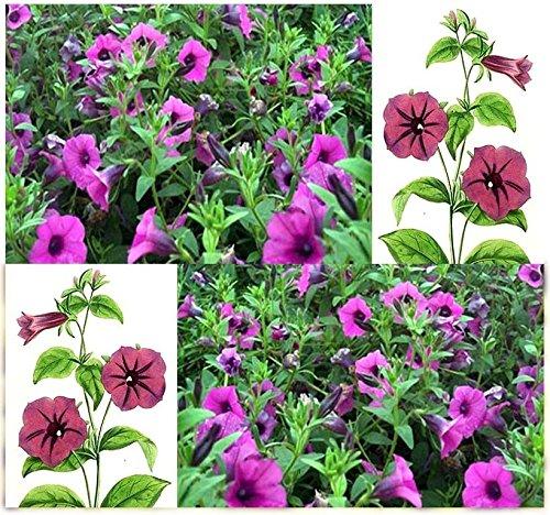 (1 oz: Petunia violacea - shanin Wild Petunia - Wildflower Seeds Container Zone 9a - 11)