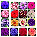 100 pcs Seeds Mixed Color Verbena hybrida Bonsai Flower Plants Garden Planting s