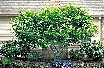 Amazoncom 50 Vine Maple Tree Seeds Acer Circinatum Garden