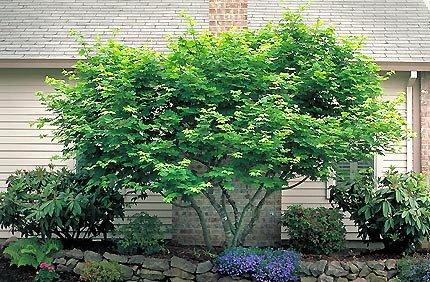 50 Vine Maple Tree Seeds, Acer Circinatum