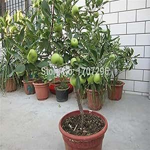 Las semillas de semillas de manzana Bonsai Manzano - 10 pcs / lot