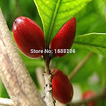 Free Shipping 10pcs Chinese Heirloom Synsepalum dulcificum fruit Seeds