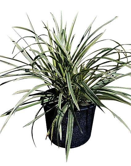 Amazoncom Plantvine Ophiopogon Intermedius Argenteomarginatus