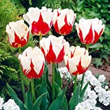 World Expression Tulip Seeds 30+ Seeds Upc 648620997852