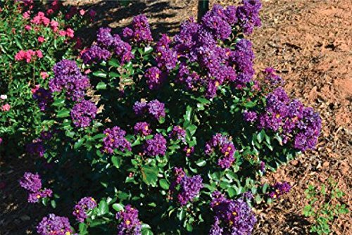 PURPLE VELVET Miniature Crape Myrtle, Pack of 5, Darkest Purple Flower Available, Matures 4'-5' (1'-1.5' When Shipped, Well Rooted with Pots in Soil) by The Crape Myrtle Company (Image #1)