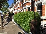 25 Green Privet Hedging Ligustrum Plants Hedge 2-3 ft, 60-90cm,Quick Growing Evergreen, Bare Root