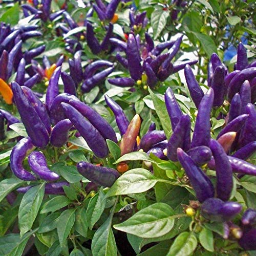 Go Garden 10 - Seeds: Purple Prince Hot Pepper Seeds - Very Productive Ornamental Variety. ! Beautiful!