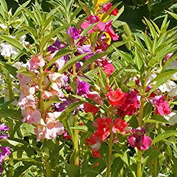 Impatiens Seeds (Extra Dwarf) - Tom Thumb Mixed - Packet, Pink/Red/White/Violet, Flower Seeds