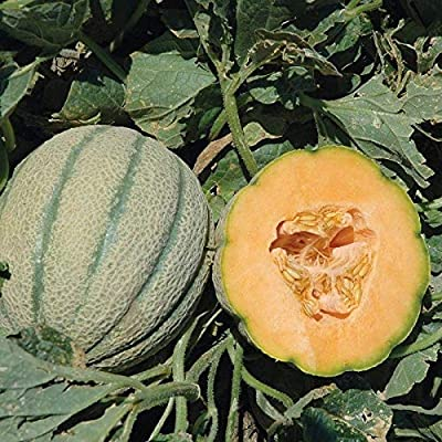 Orange Sherbet PMT F1 Hybrid Melon Seeds - bright orange and very aromatic.!!(50 - Seeds) : Garden & Outdoor