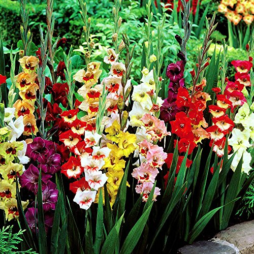 Gladioli large flowering mix - 10 flower bulbs