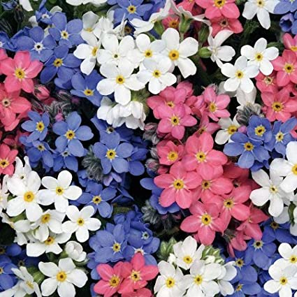 Amazon forget me not seeds mixed colors packet bluepink forget me not seeds mixed colors packet bluepinkwhite flowers mightylinksfo