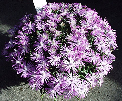 (50 Seeds Marlothistella stenophylla Exotic Color Rare Cactus mesembs Cacti)