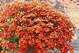 "Live Nemesia Orange Plant Perennials Plant Fit 4"" Pot"