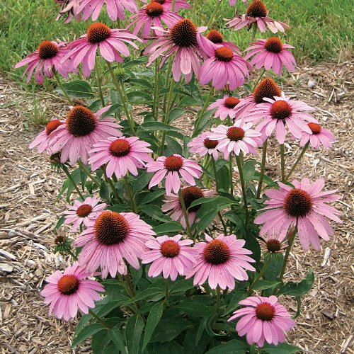 Grow Purple Coneflower - CONEFLOWER