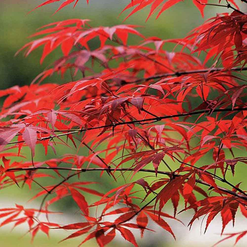 little finger Japanese Maple Tree Seeds 10Pcs Japanese Maple Tree Acer Palmatum Seeds Garden Home Decoration Bonsai Plant Seeds