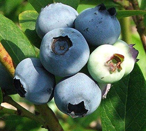 Vaccinium corymbosum Blueberry 'Goldtraube' 19cm deep Pot Size Imberhorne Lane Nursery