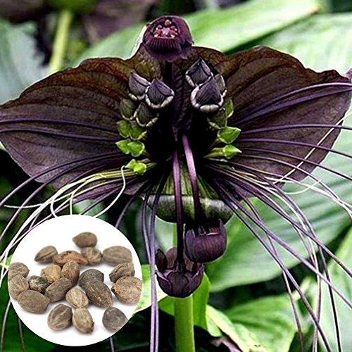 LOadSEcr's Garden 10Pcs Black Bat Tacca Chantrieri Whiskers Flower Seeds Non-GMO Ornamental Plants Yard Office Decoration, Open Pollinated Seeds (Bat Flower Plant)
