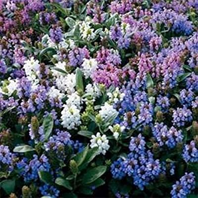 Prunella- Grandiflora mix- 50 Seeds : Garden & Outdoor