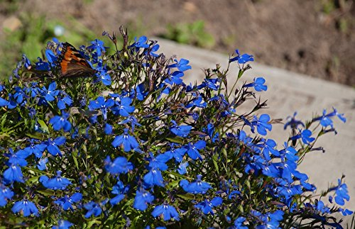 Blue edging lobelia; garden lobelia, trailing lobelia - seeds