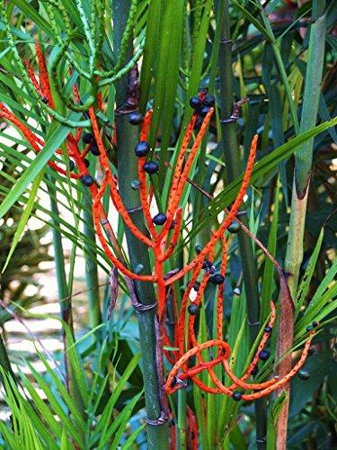 Chamaedorea seifrizii Bamboo Palm Reed palms ornamental home plant seed 25 ()