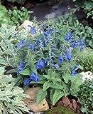 Salvia (Sage) patens Patio Deep Blue 1,000 seeds