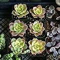 Aeonium Kiwi Succulent Plants. Rare Succulents. Porous Soil. Potting Soil. Bell Shaped Flowers. Cacti. Succulent Aeonium
