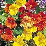 Nasturtium, Whirly Bird Mix Seeds, 25+ seeds, Organic Newly Harvested-beautiful Flower