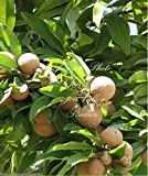 Manilkara zapota Chicle Tropical Tree Seeds! Chewing Gum! Sapodilla New Harvest 7 Seeds
