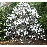 Vivai Le Georgiche Magnolia Stellata
